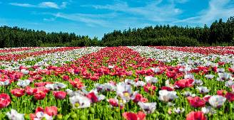 Field full of red and white flowers